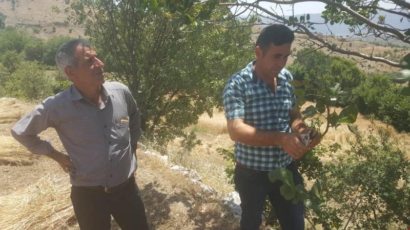 Arıcak`ta Sakız Ağaçları Antep Fıstığı Aşısı Yapıldı