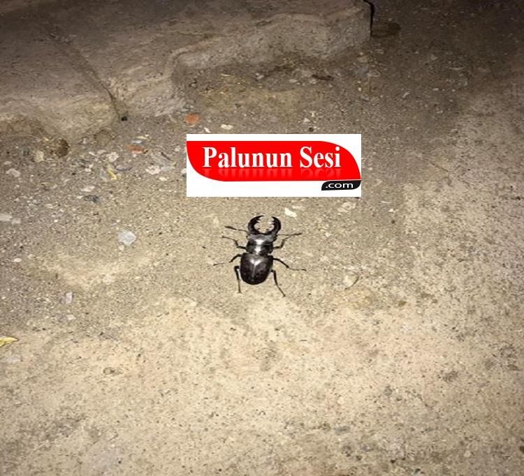 Elazığ`da koruma altında olan geyik böceği görüldü-VİDEO
