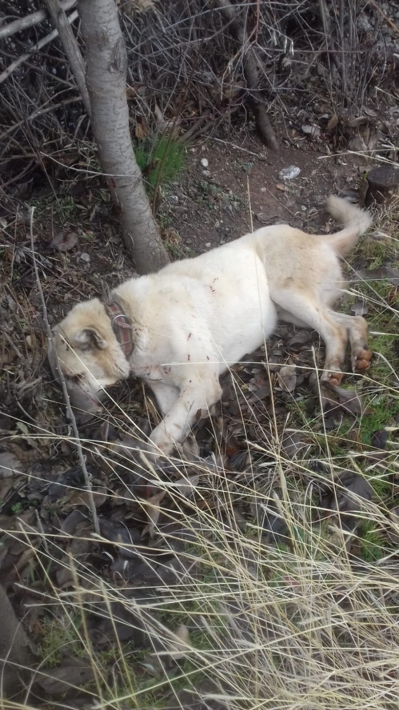 Kangal Köpeği Sebepsiz Yere Vurdu